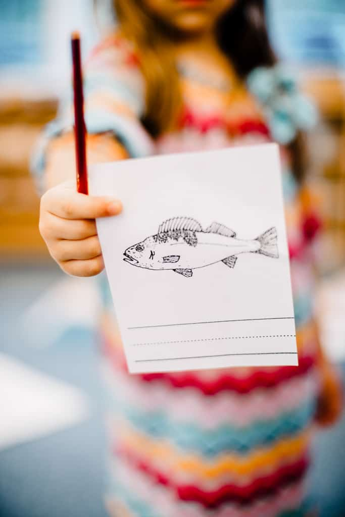 montessori children's house student with parts of a fish work